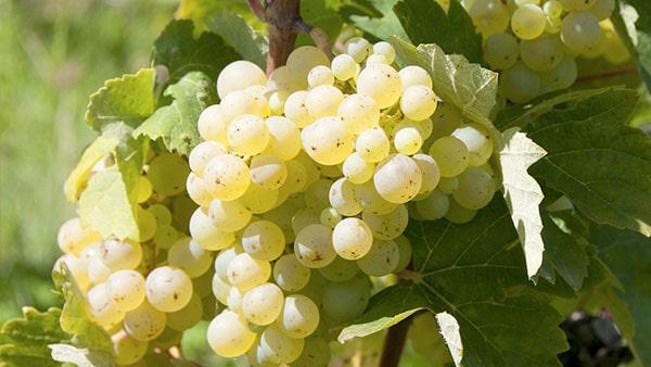 Des raisins bios